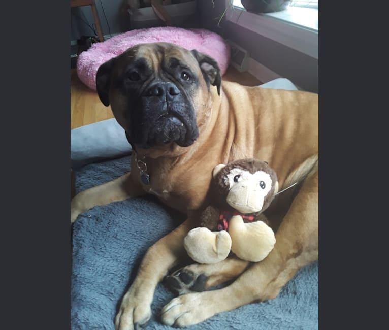 Photo of Maggie, a Bullmastiff  in Pennsylvania, USA