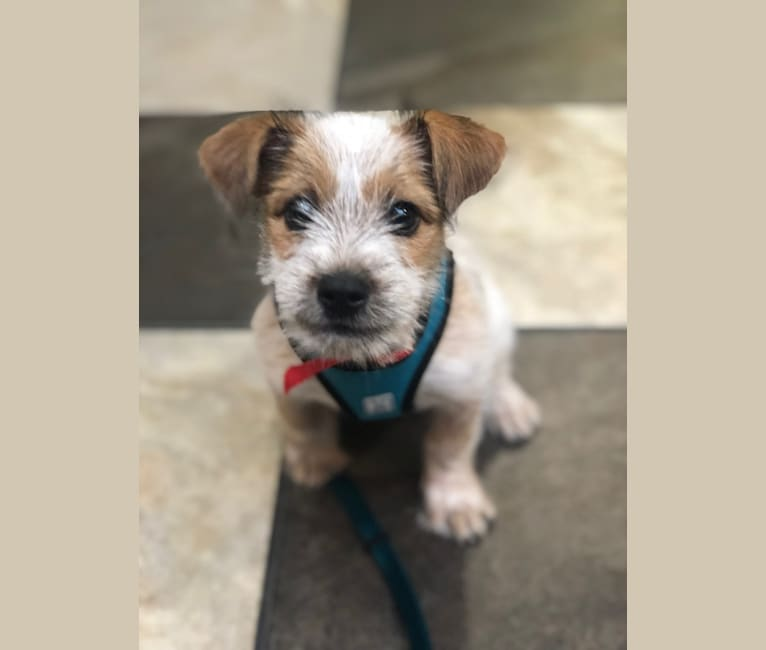 Photo of Seamus, a Shih Tzu, Australian Cattle Dog, Yorkshire Terrier, and Mixed mix in Merced, California, USA