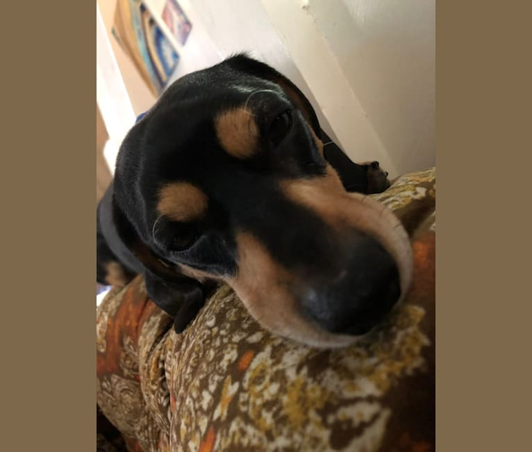 Photo of Commander Paw Dameron, a Beagle, Poodle (Small), Chihuahua, and Mixed mix in Stanislaus County Animal Shelter, Cornucopia Way, Modesto, CA, USA