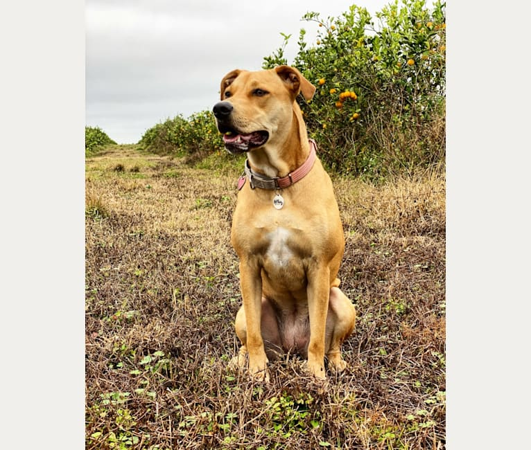 Photo of Pam, an American Pit Bull Terrier, Catahoula Leopard Dog, Labrador Retriever, and American Staffordshire Terrier mix in Highlands County, FL, USA