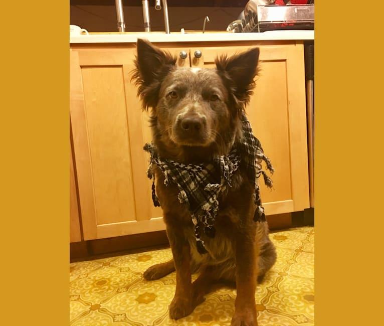 Photo of Walter, an Australian Cattle Dog  in Arizona, USA