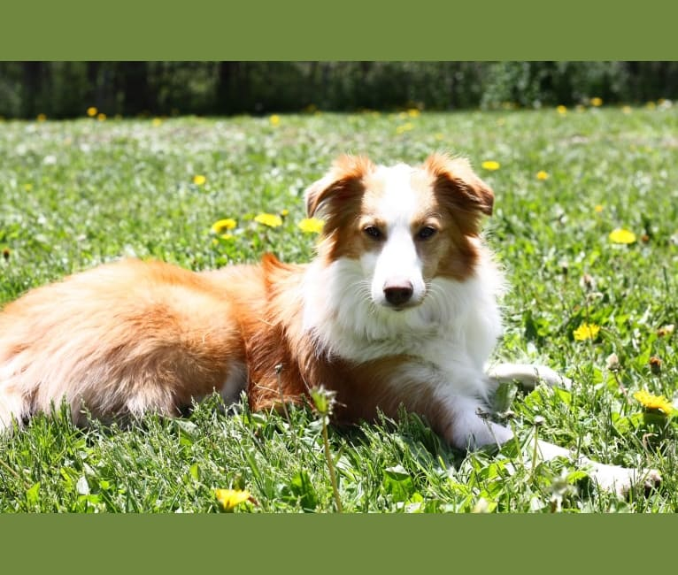 Photo of Bailey, a Collie, Shetland Sheepdog, Chihuahua, Yorkshire Terrier, Saint Bernard, and Mixed mix in Goshen, New York, USA
