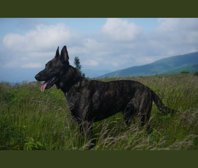 Photo of Titus, a Dutch Shepherd  in Georgia