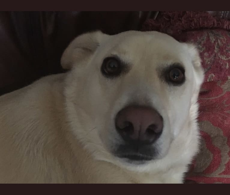 Photo of Casper, a German Shepherd Dog, Siberian Husky, American Pit Bull Terrier, Beagle, Chow Chow, and Mixed mix in Tennessee, USA