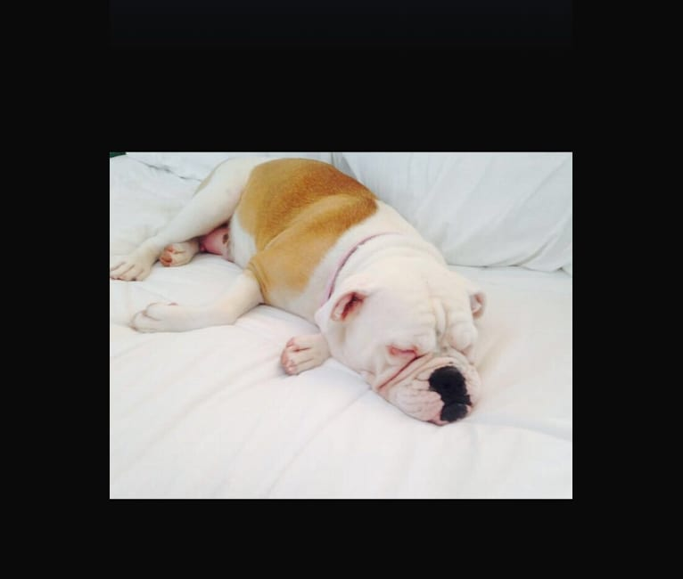 Photo of Luna, a Bulldog and American Bulldog mix in Phoenix, Arizona, USA