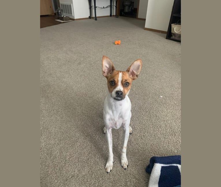 Photo of Riggs, a Chihuahua, Pomeranian, Dachshund, and Miniature Schnauzer mix in Arizona, USA