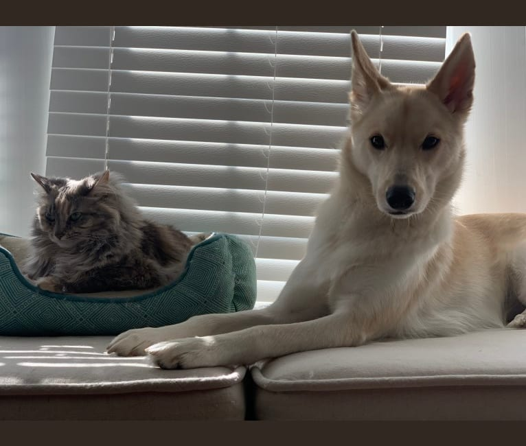 Photo of Remi, a Siberian Husky, Border Collie, and Labrador Retriever mix in Columbus, Ohio, USA