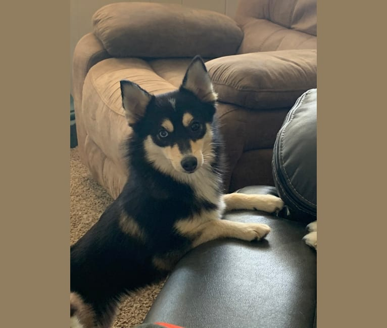 Photo of Penny, a Pomsky  in Michigan, USA