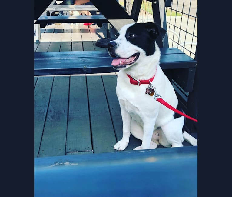 Photo of Eleven, a Bulldog and Great Pyrenees mix in Texas, USA