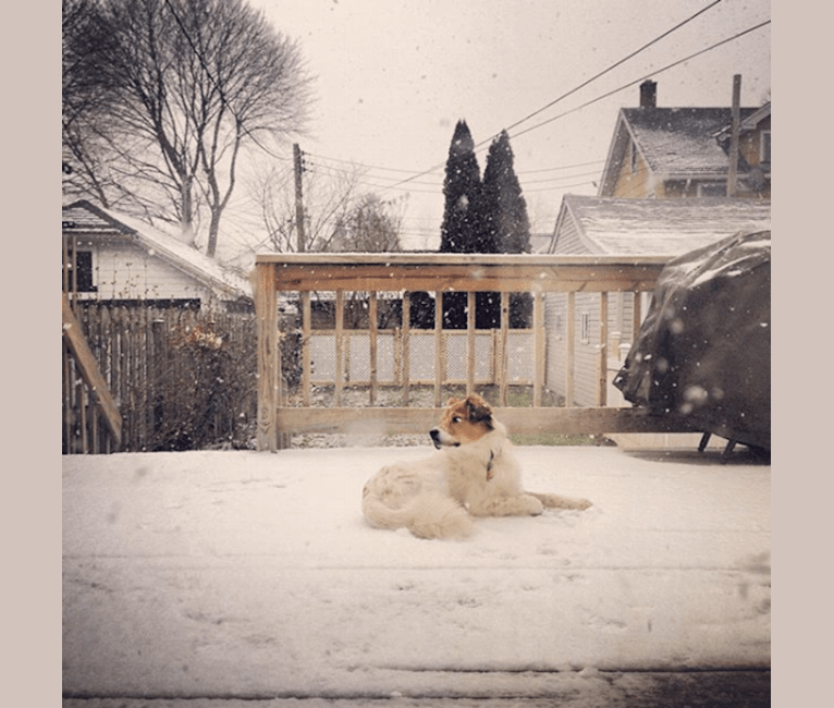 Photo of R2D2, an American Pit Bull Terrier, Collie, Labrador Retriever, Chow Chow, Alaskan Malamute, and Mixed mix in Rochester, New York, USA