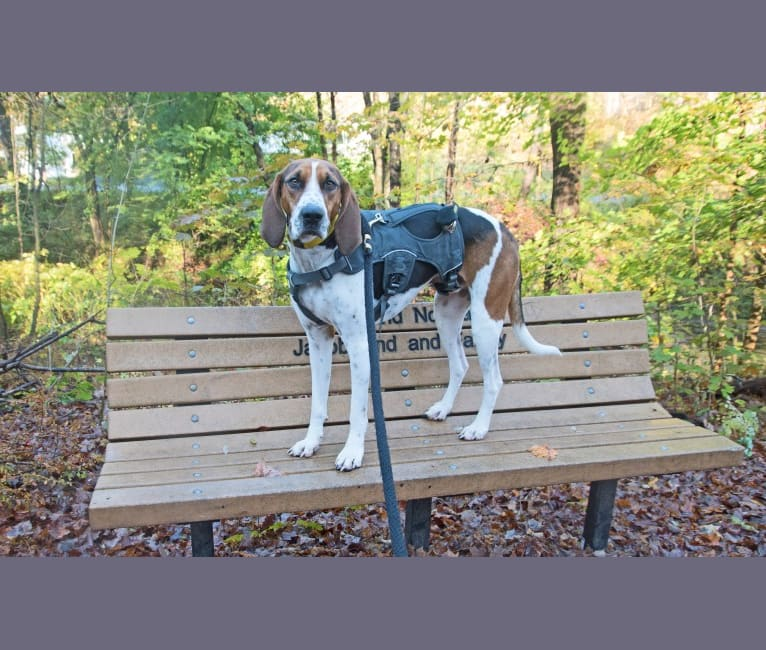 Photo of Murphy, a Treeing Walker Coonhound  in North Carolina, USA