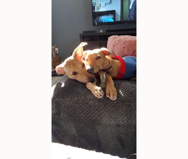 Photo of Ferris, an American Pit Bull Terrier, Russell-type Terrier, Doberman Pinscher, Belgian Malinois, German Shepherd Dog, and Mixed mix in Saint Lucia