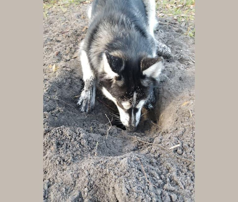 Photo of Kira, a Siberian Husky  in Lakeland, FL, USA