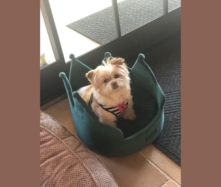 Photo of Gracie, a Chihuahua, Shih Tzu, Pomeranian, Miniature Pinscher, and Pekingese mix in Pet Harbor, West Redondo Beach Boulevard, Gardena, CA, USA