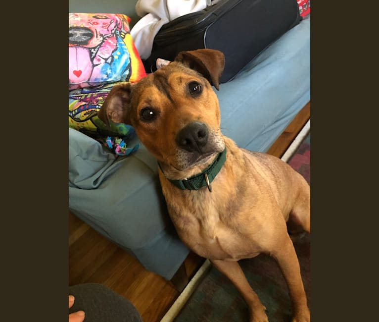 Photo of Batman, an American Pit Bull Terrier, Rottweiler, American Staffordshire Terrier, Labrador Retriever, and Mixed mix in Indiana, USA