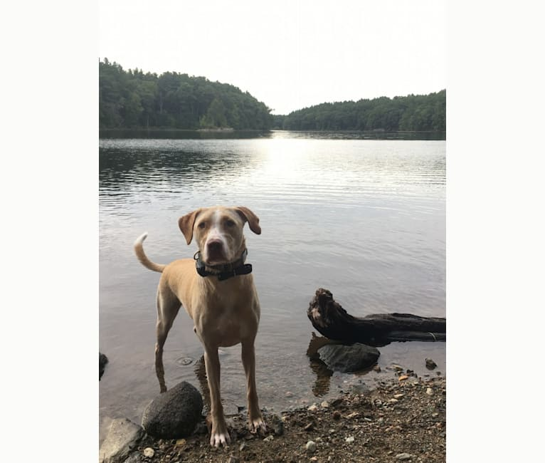Photo of Phoebe, a Labrador Retriever, American Pit Bull Terrier, and Australian Shepherd mix in Arkansas, USA