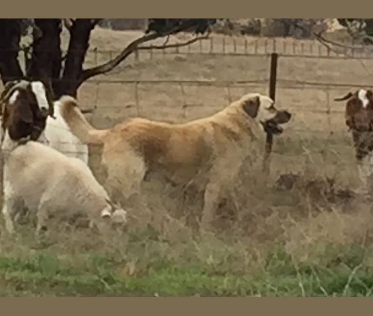 Photo of Pasha, an Anatolian Shepherd Dog  in Australia