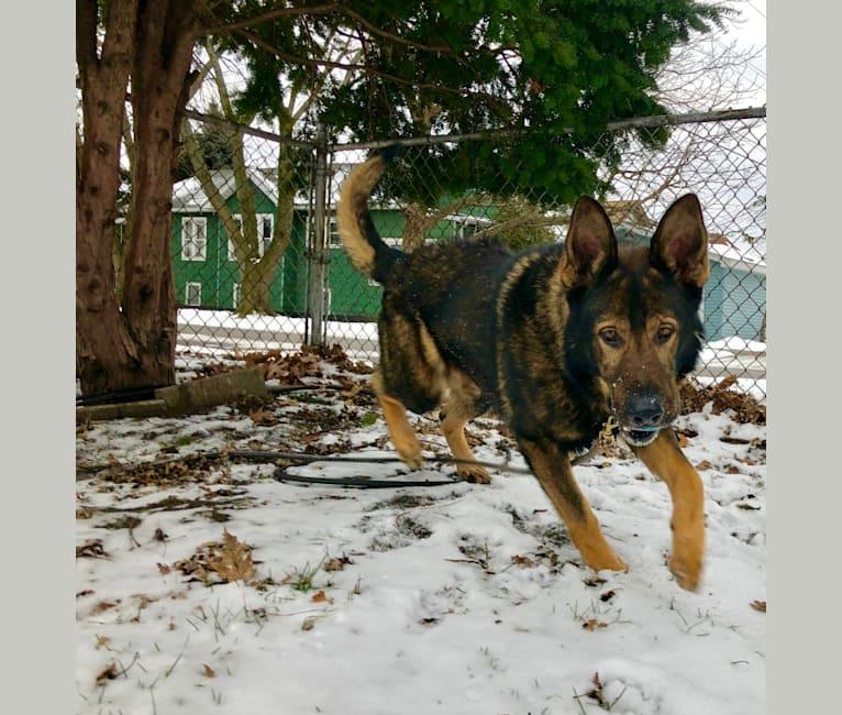 Photo of Kye Lo, a German Shepherd Dog  in Georgia, USA