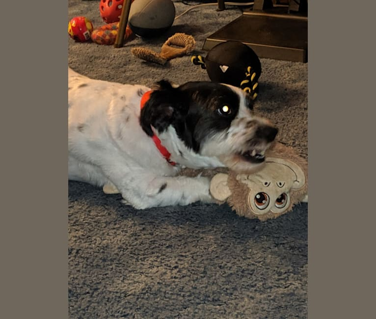 Photo of Teddy, a Poodle (Small), Shih Tzu, American Eskimo Dog, and Mixed mix in Allentown, Pennsylvania, USA
