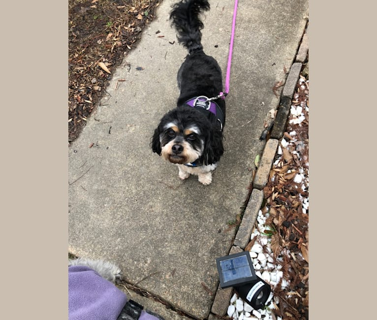Photo of Ollie, a Poodle (Small), Cocker Spaniel, Chihuahua, Lhasa Apso, Bichon Frise, and Mixed mix in Delaware, USA