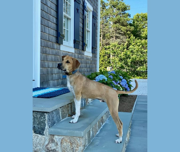 Photo of Teo, a Mountain Cur, German Shorthaired Pointer, and American Pit Bull Terrier mix in Mississippi, USA
