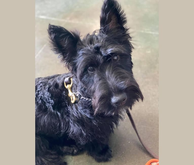Photo of Okie, a Scottish Terrier  in Oklahoma, USA