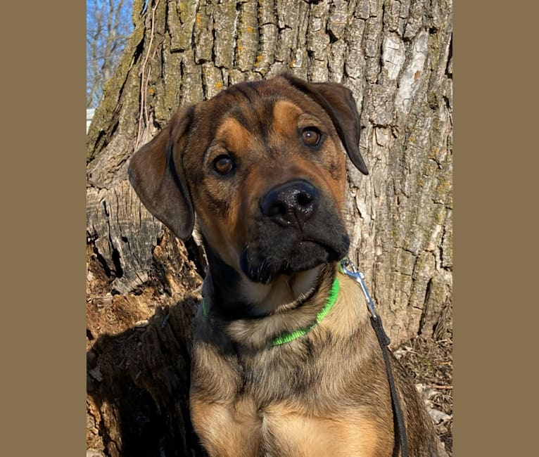 Photo of Lenny, a Rottweiler and American Pit Bull Terrier mix in Grass Lake Charter Twp, Michigan, USA