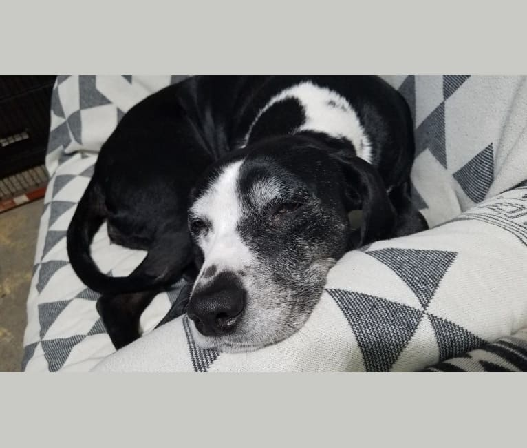 Photo of Oreo Rodriguez, a Dalmatian mix in California, USA