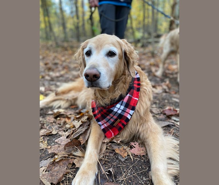 Photo of Sundae, a Goldendoodle  in Mount Forest, ON, Canada