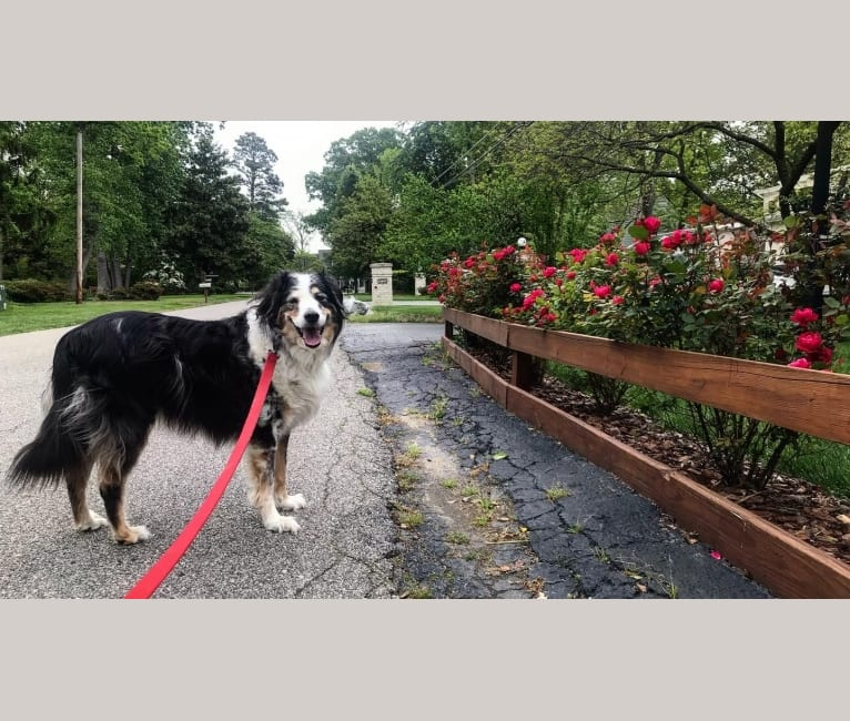 Photo of Eowyn, a Chow Chow, Collie, Poodle (Standard), and Mixed mix in Lorton, Virginia, USA