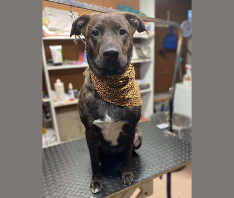 Photo of Roxie D, a Boxer, German Shepherd Dog, and American Pit Bull Terrier mix in Monroe, New York, USA