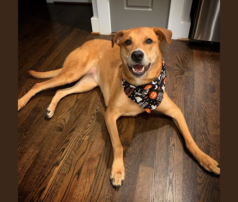 Photo of Ellie, a Rottweiler, American Pit Bull Terrier, Australian Cattle Dog, and Mixed mix in Raleigh, North Carolina, USA