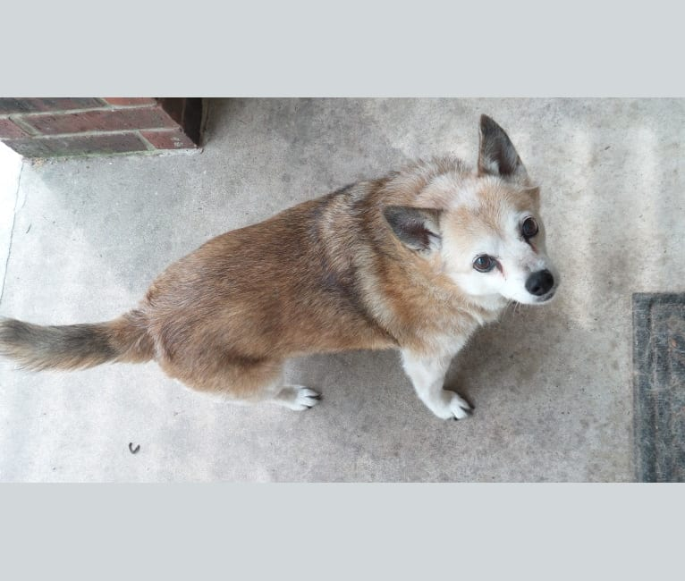 Photo of Lassie, a Pomeranian and Rat Terrier mix in Burleson, Texas, USA