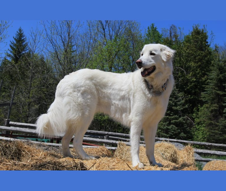 Photo of Milo, a Maremma Sheepdog  in Lindsay, Kawartha Lakes, ON, Canada