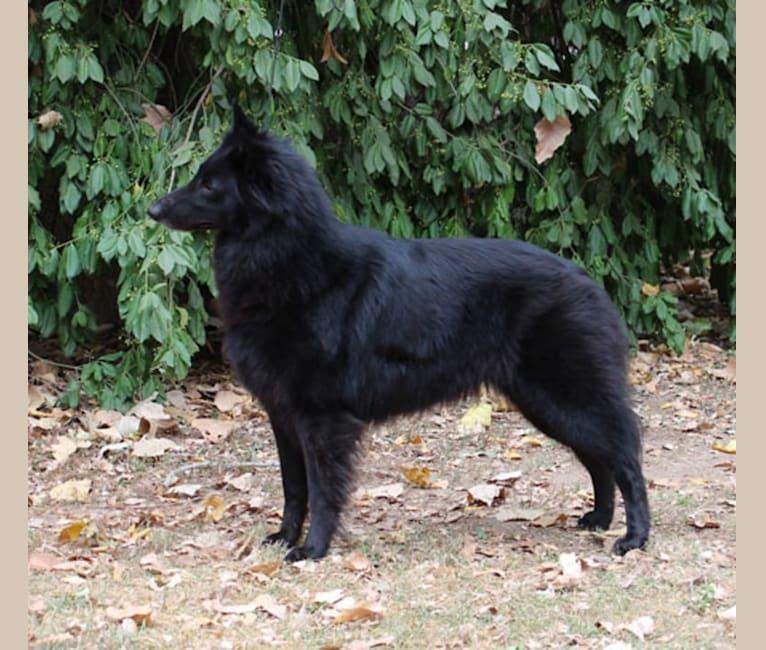 Photo of Star, a Belgian Shepherd  in Beavercreek, OH, USA
