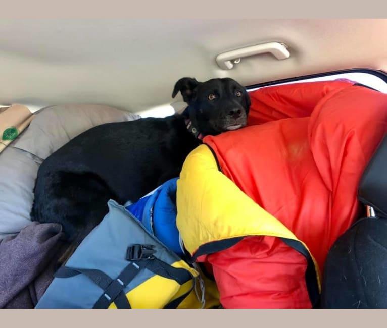 Photo of Zeeki, a Border Collie, Chinese Shar-Pei, German Shepherd Dog, and Mixed mix in Arizona, USA