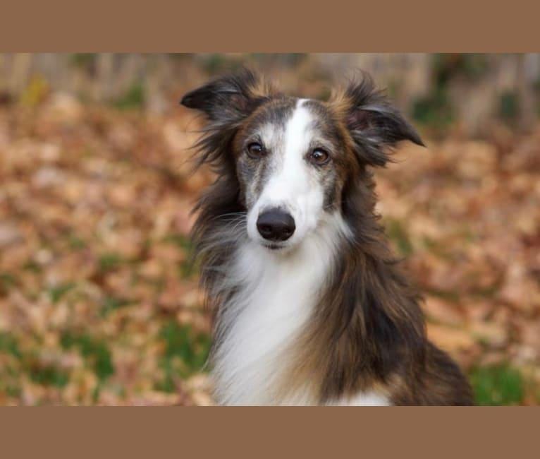 Photo of Geyser, a Silken Windhound  in Ohio, USA