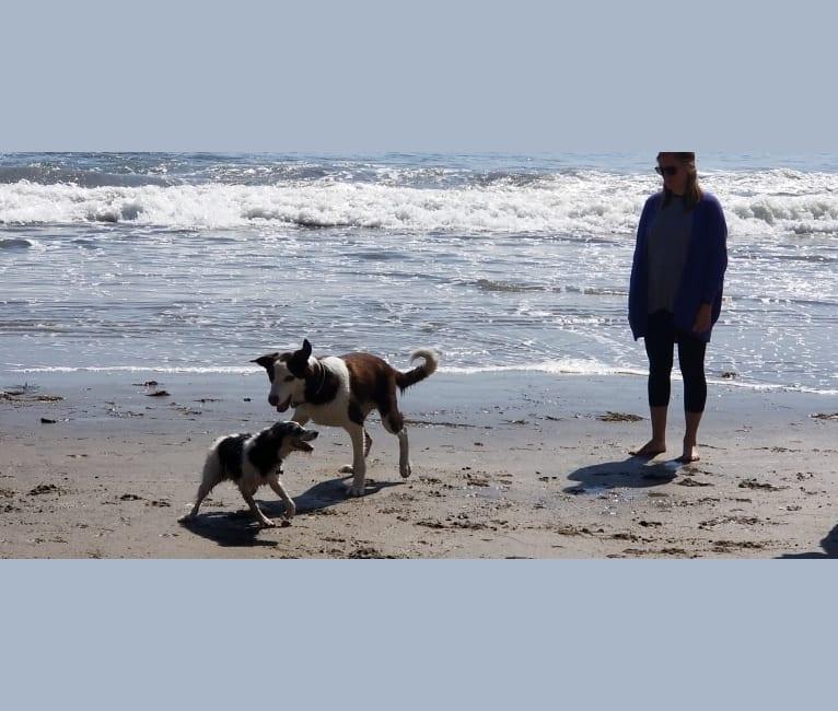Photo of Cosmo, a Great Pyrenees, Border Collie, and Labrador Retriever mix in California, USA