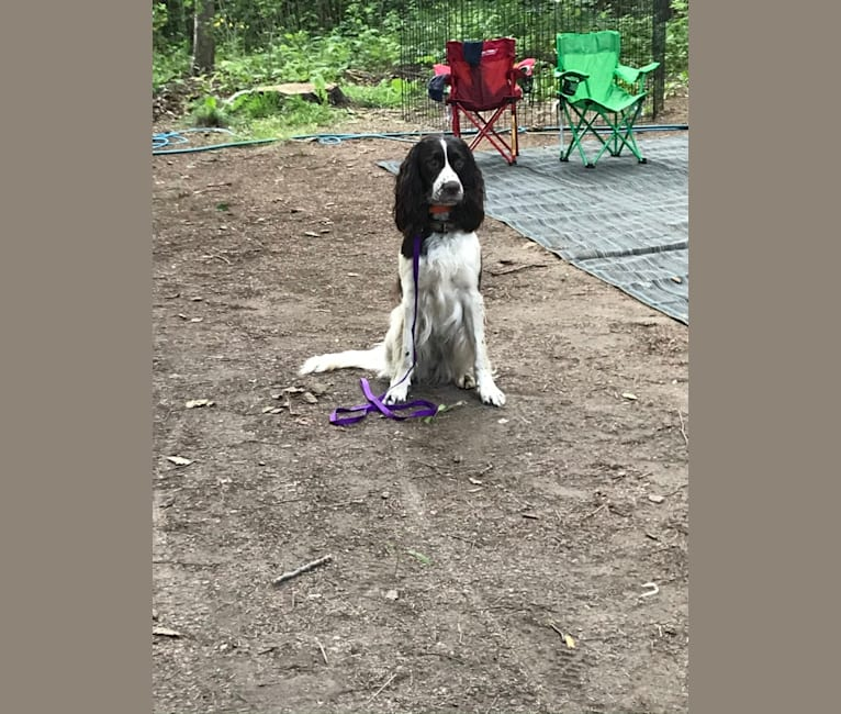 Photo of Megan ProHunter Des Appalaches, a French Spaniel  in Saint-Georges, QC, Canada