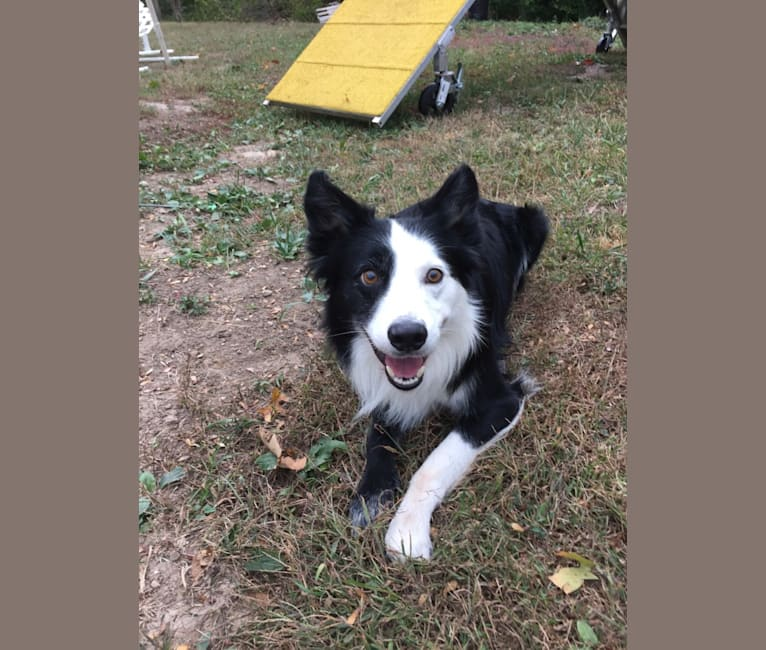Photo of Ripper, a Border Collie  in McHenry, Illinois, USA