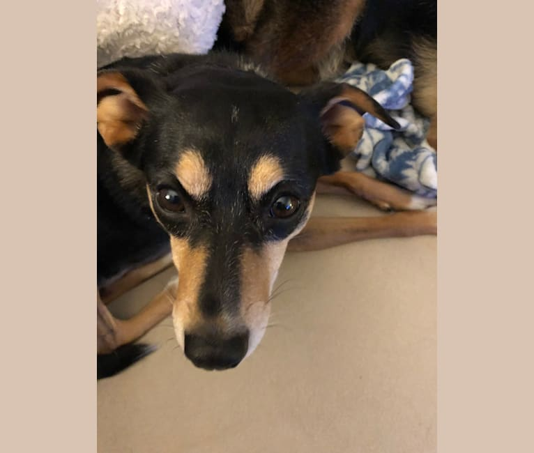 Photo of Bella, a Chihuahua, Miniature Pinscher, American Eskimo Dog, and Poodle (Small) mix in Altamonte Springs, Florida, USA