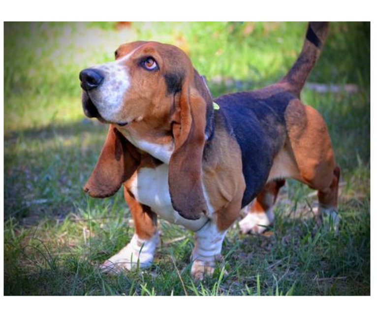 Photo of Teddy, a Basset Hound  in Virginia, USA