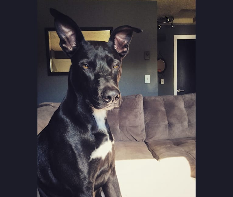 Photo of Gary, an American Pit Bull Terrier, Australian Cattle Dog, German Shorthaired Pointer, and American Staffordshire Terrier mix in Plentywood, Montana, USA