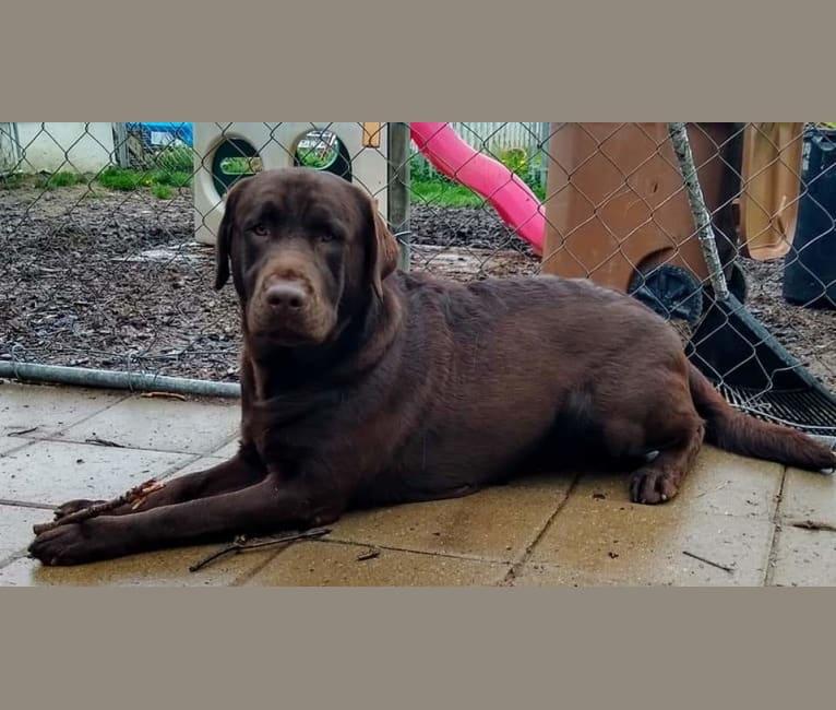 Photo of Rocket, a Labrador Retriever  in Brunswick, OH, USA