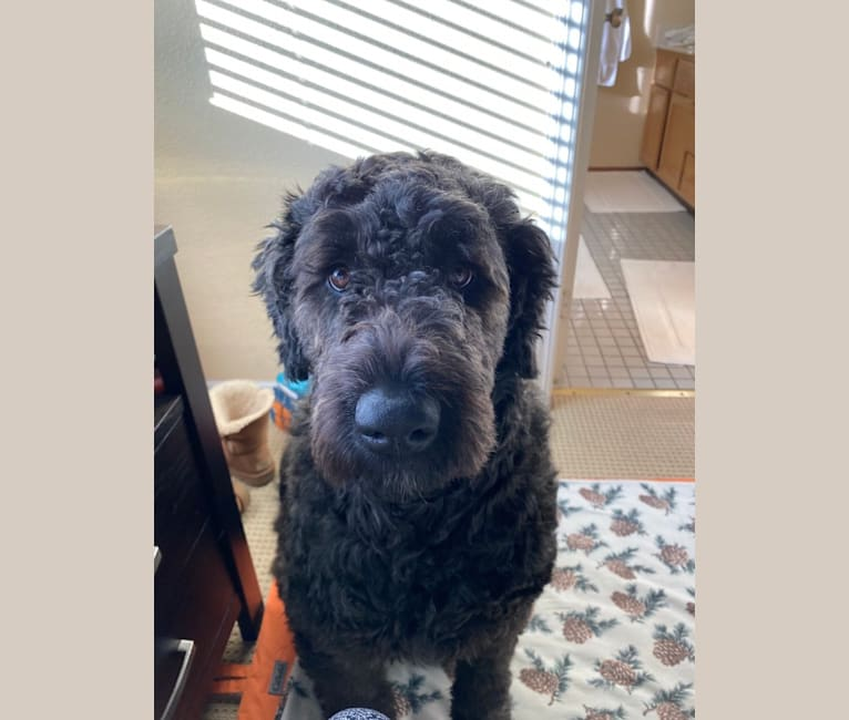 Photo of Willomina, a Bouvier des Flandres  in Humane Society of the North Bay, Sonoma Boulevard, Vallejo, CA, USA
