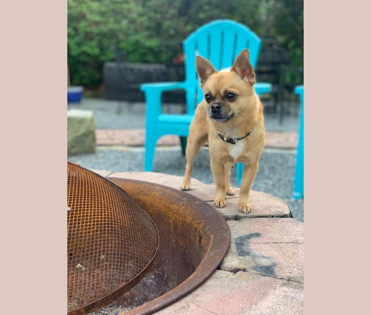 Photo of Lou, a Pekingese, Rat Terrier, Chihuahua, and Pomeranian mix in Orlando, Florida, USA