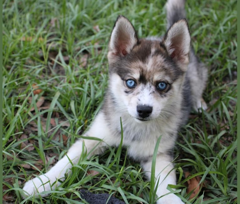 Photo of Mantis, a Pomsky  in Jacksonville, FL, USA
