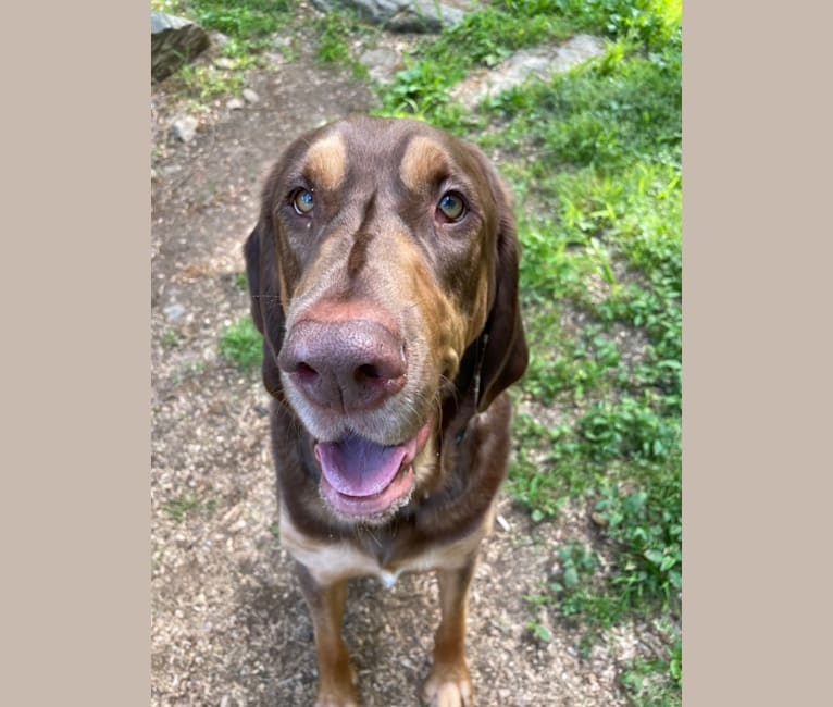 Photo of Hank, a Bloodhound and Labrador Retriever mix in Arkansas, USA