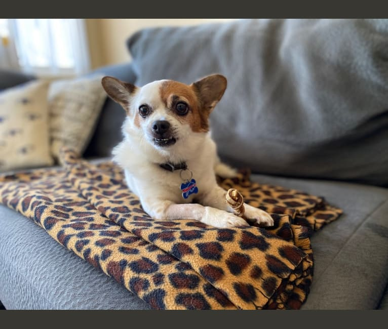 Photo of Fritz, a Chihuahua, Pekingese, Lhasa Apso, and Yorkshire Terrier mix in San Diego, California, USA