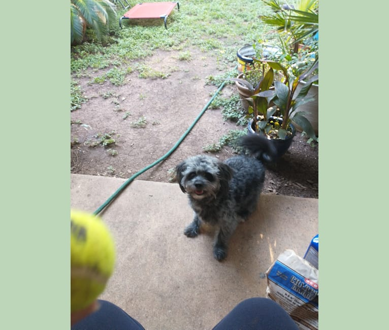 Photo of Seamus, a Chihuahua, Poodle (Small), Pomeranian, and Mixed mix in Texas, USA